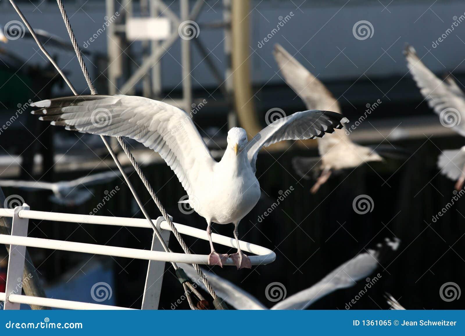 Mouette d oiseau