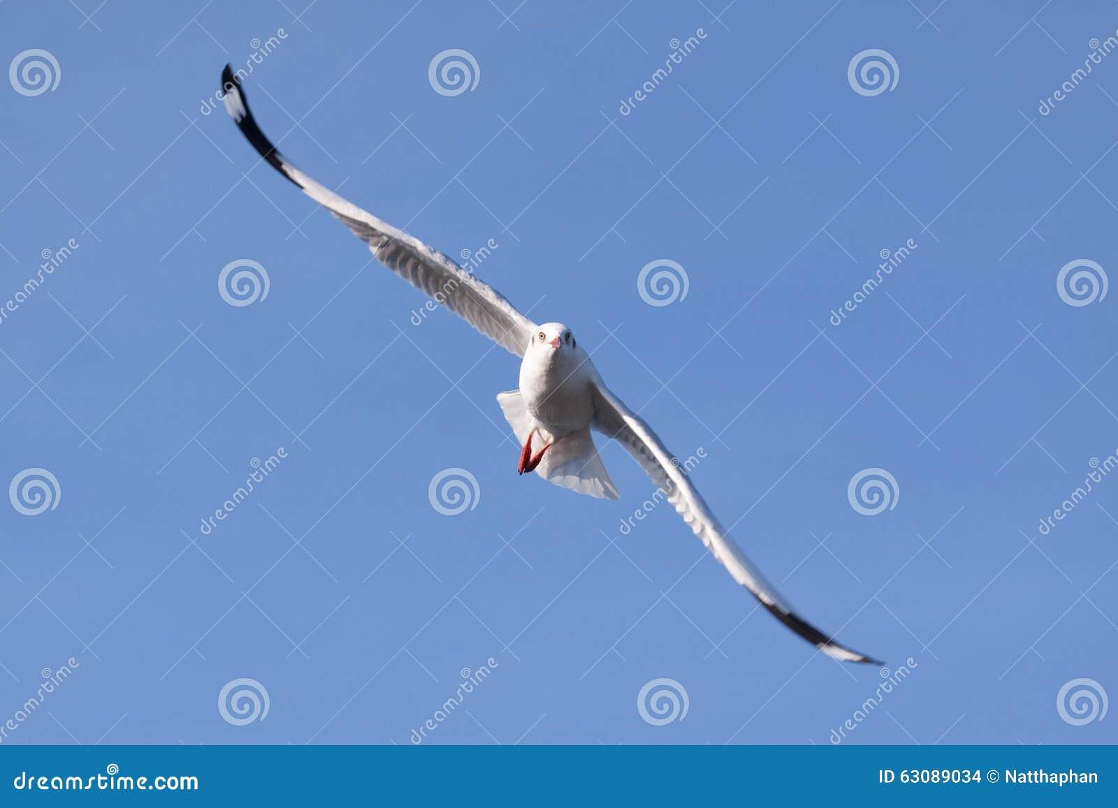 Download Mouette en vol photo stock. Image du propagation, animaux - 63089034