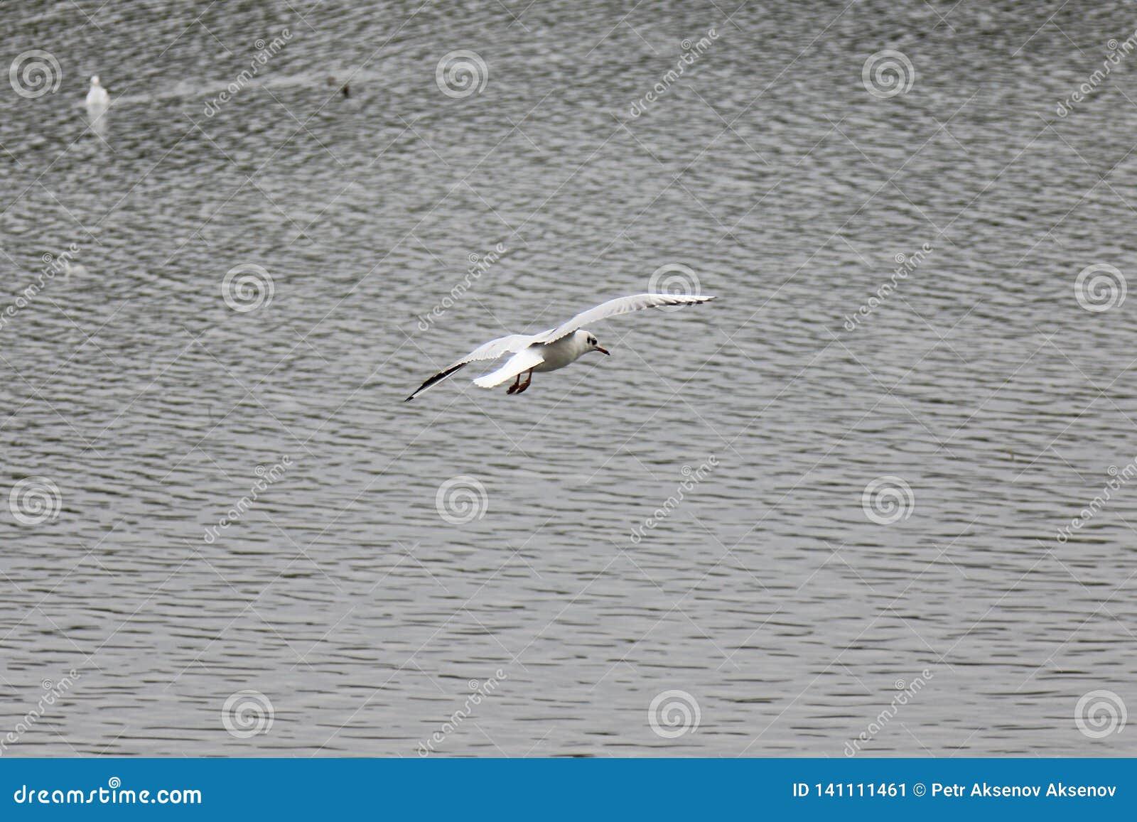 Mouette planant au-dessus de l eau d automne colorée par avance