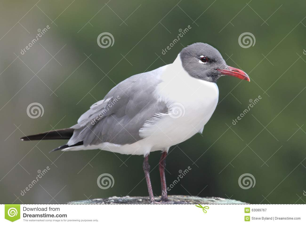 Download Mouette riante par l'océan image stock. Image du mexico - 63089767