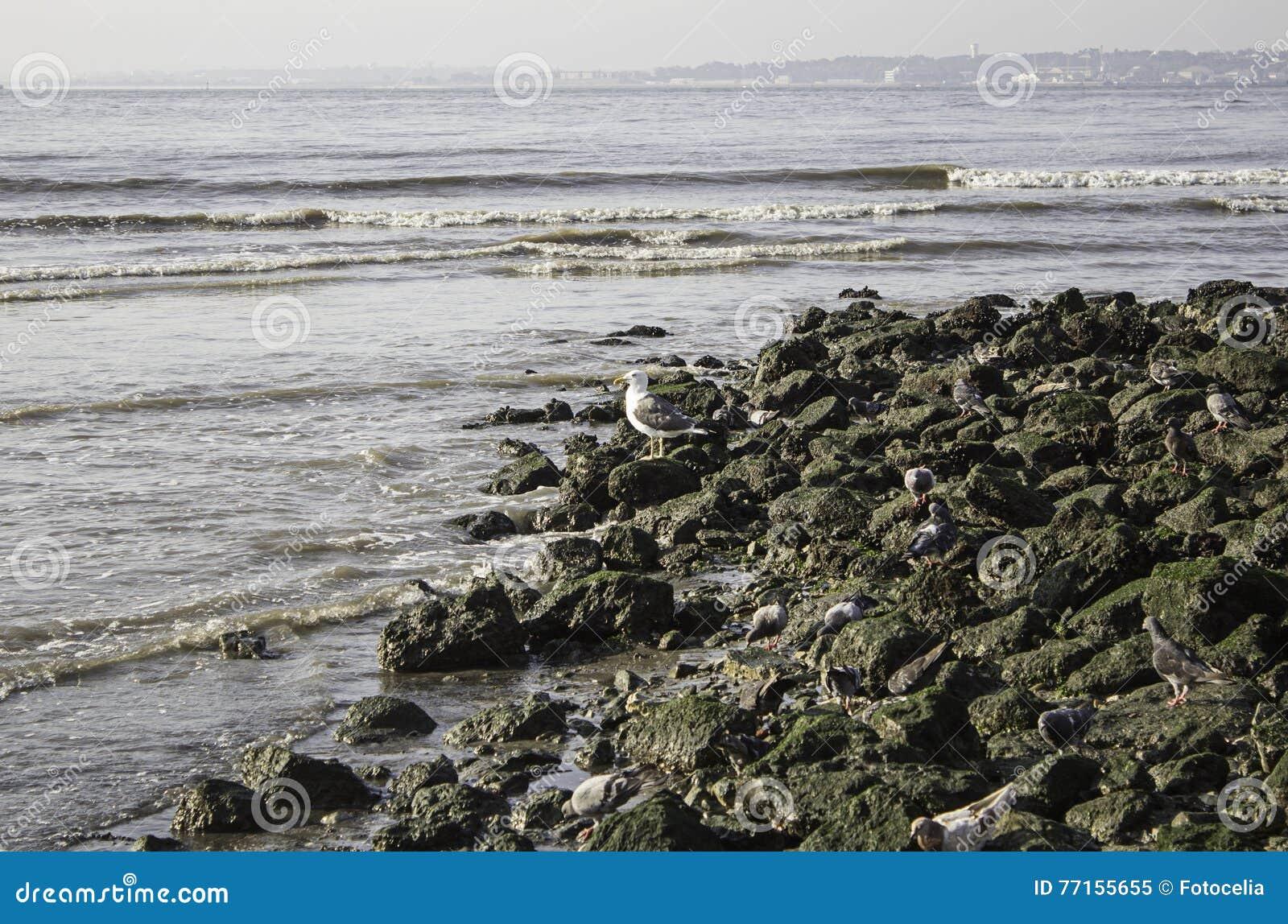 Mouette sur des roches