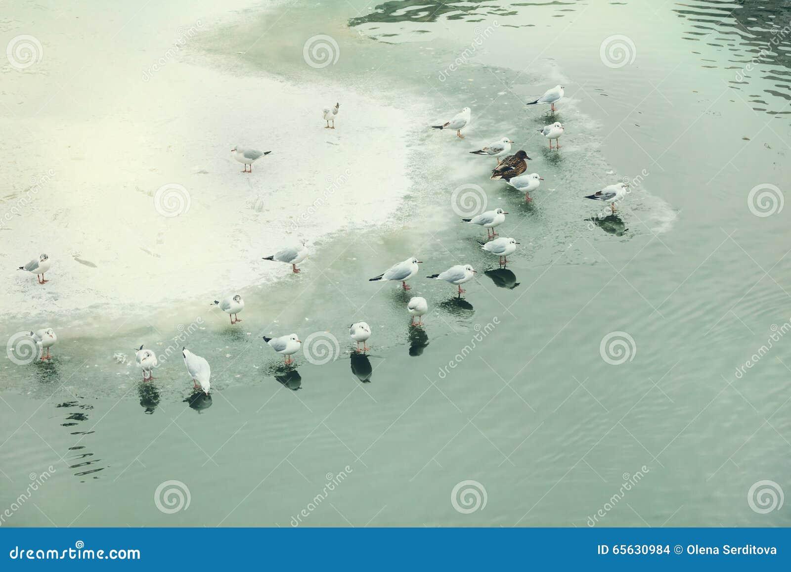 Mouettes et canards sur le lac congelé