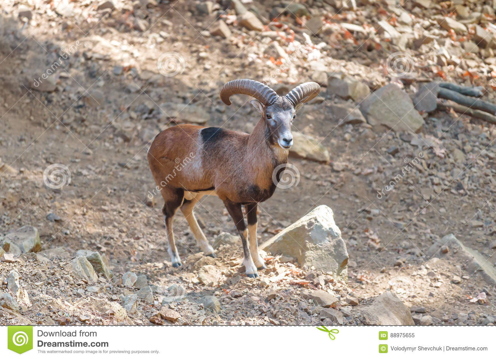 Moufflon dos carneiros de montanha