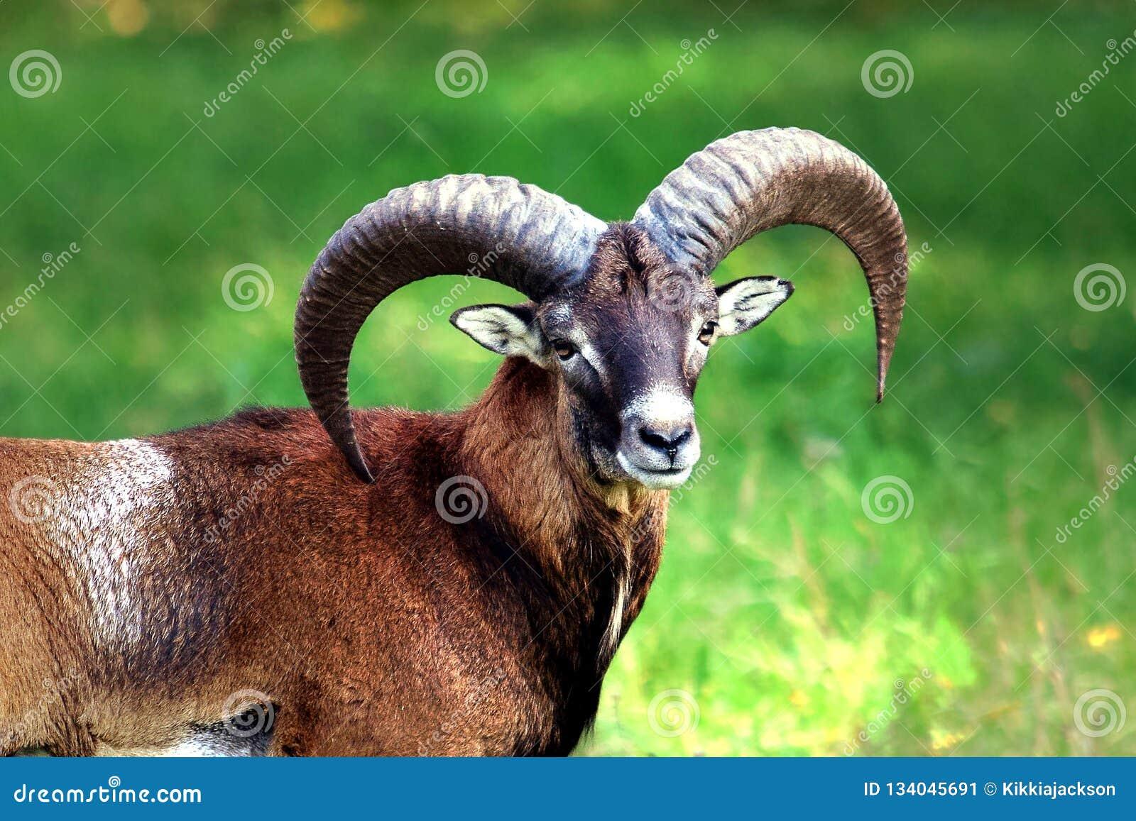Mouflon με την ομορφιά του