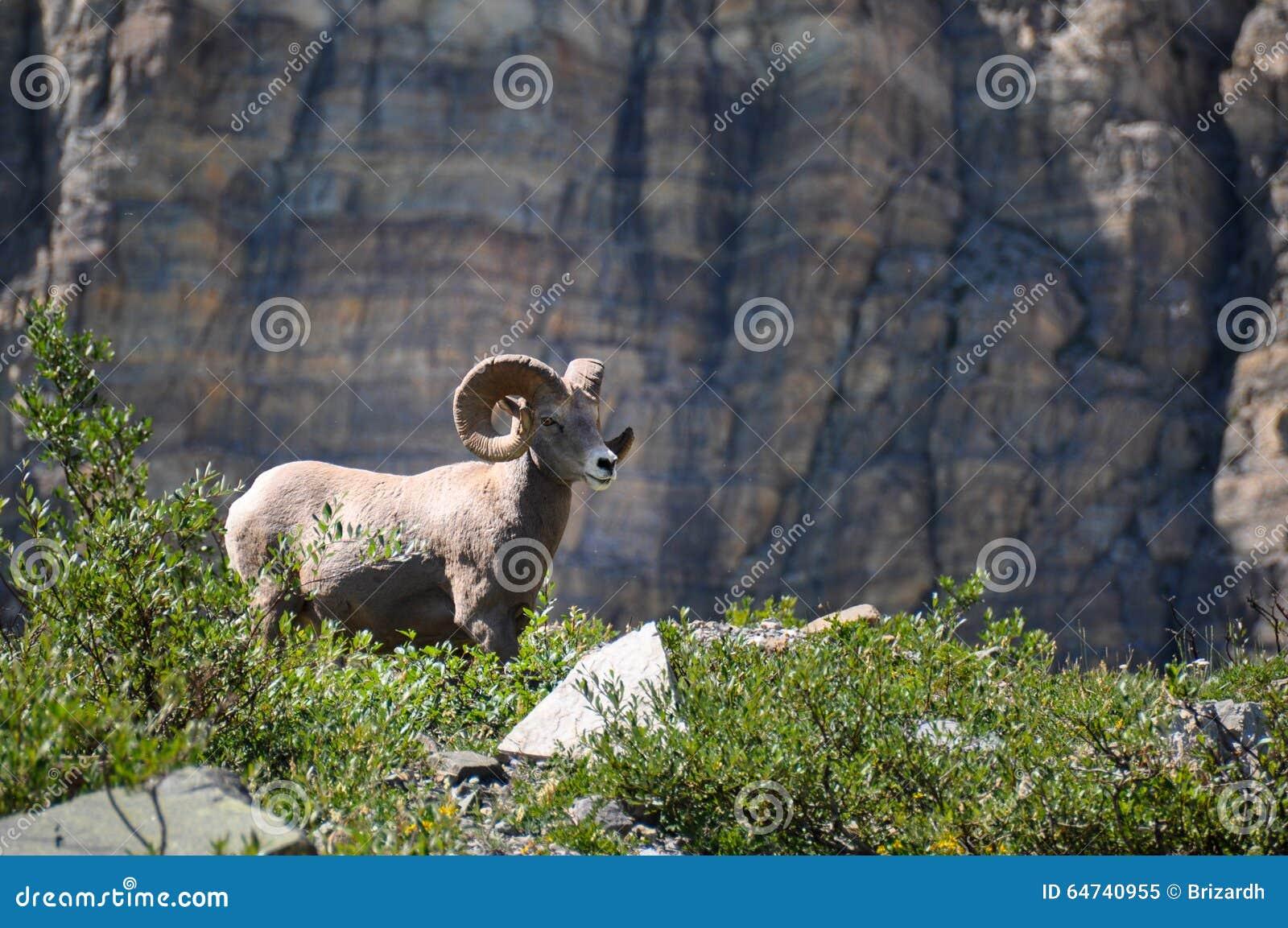 Mouflon, animais selvagens como visto no parque nacional de geleira, Montana, EUA