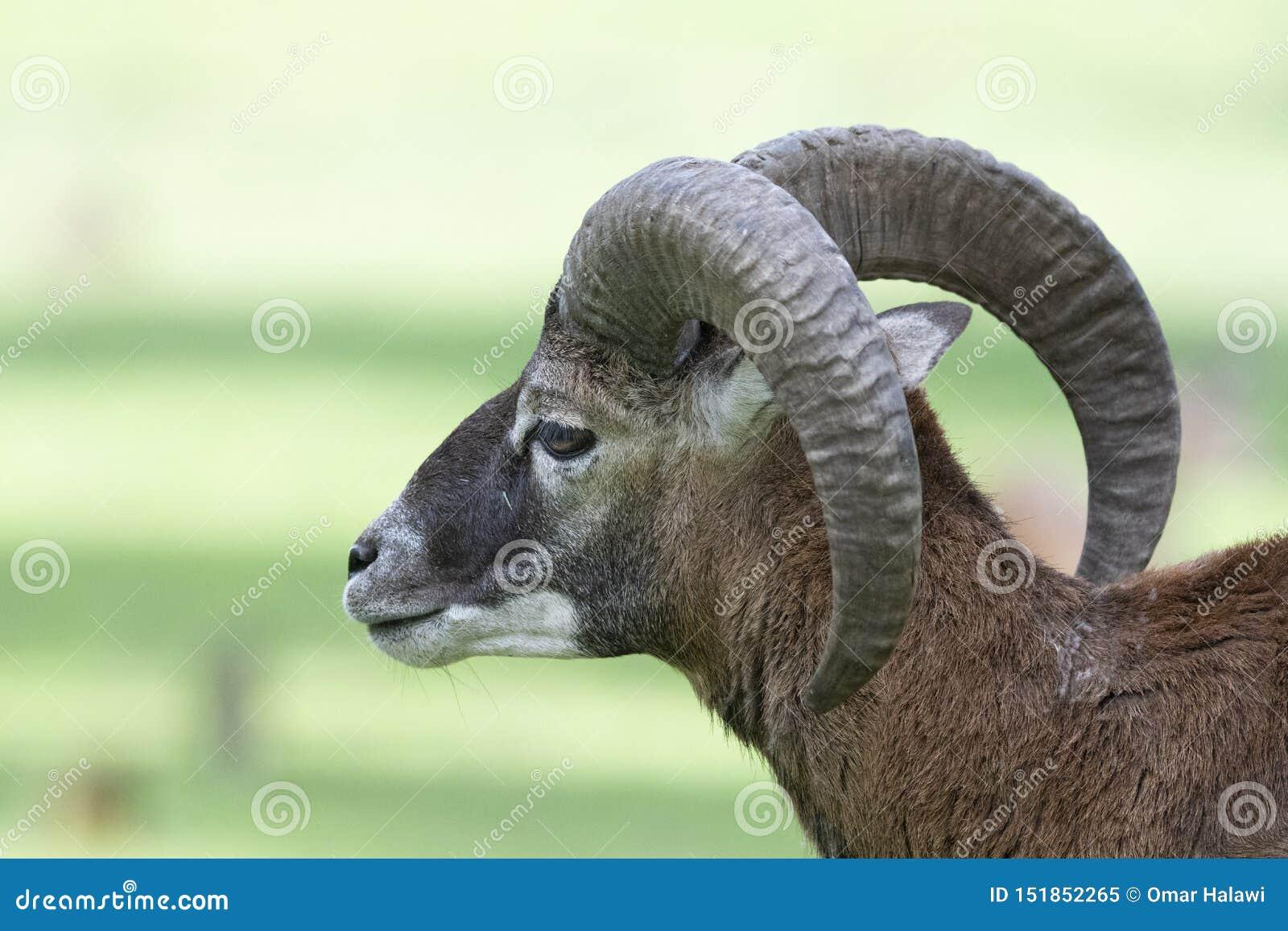 Mouflon europeu - Ovis - musimon dos orientalis