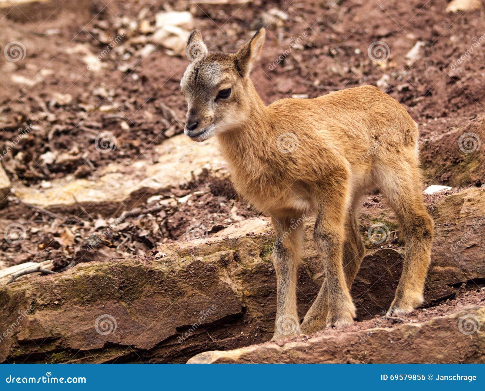 Mouflon fawn που στέκεται στο βράχο