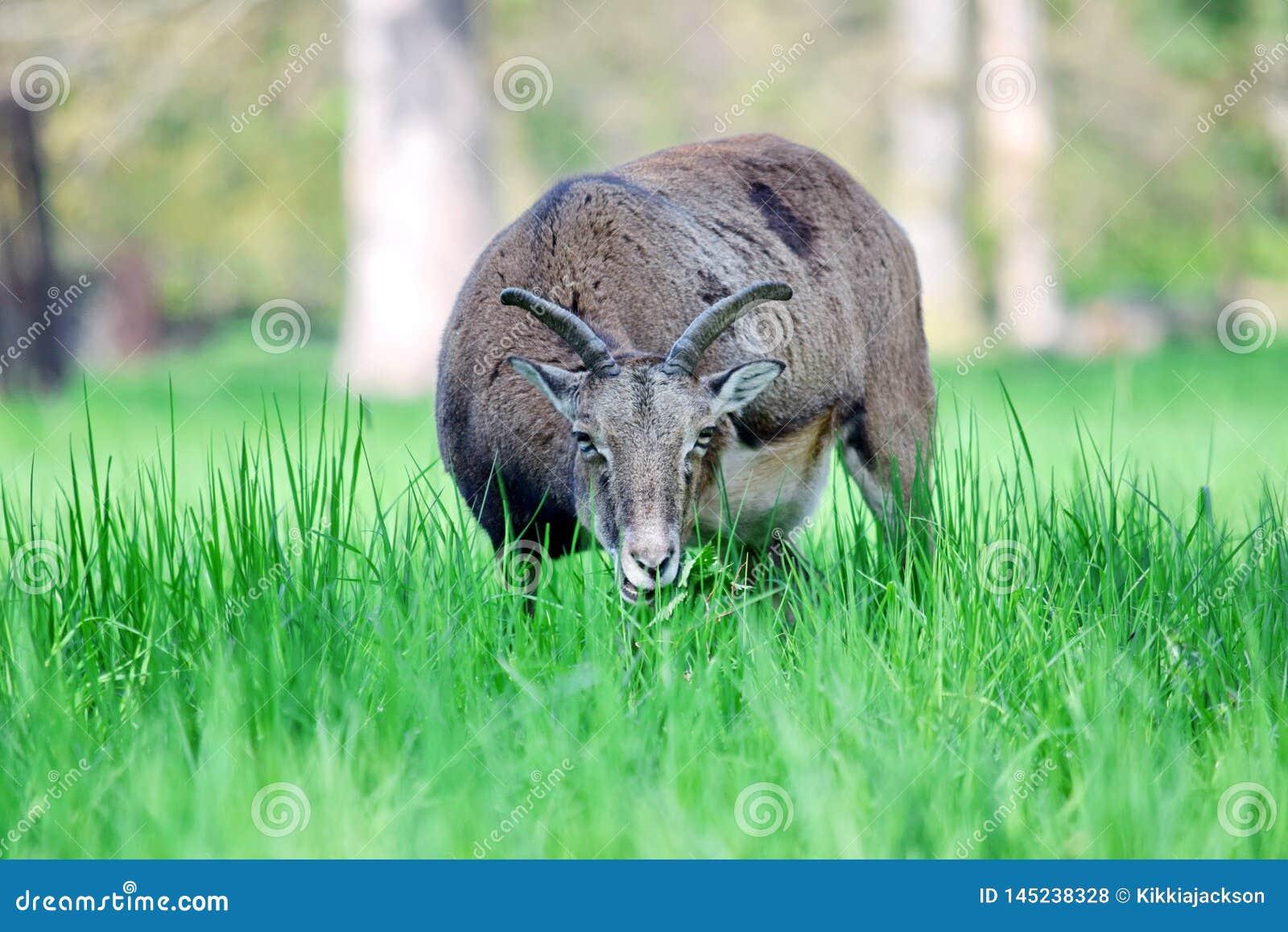 Mouflon Ovis Aries Musimon που τρώει την κινηματογράφηση σε πρώτο πλάνο χλόης