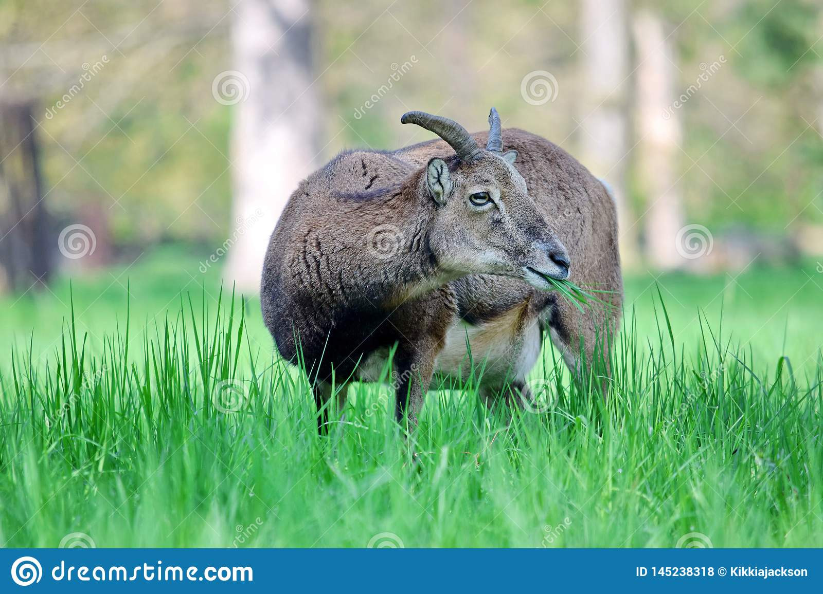 Mouflon Ovis Aries Musimon Eating Grass Closeup