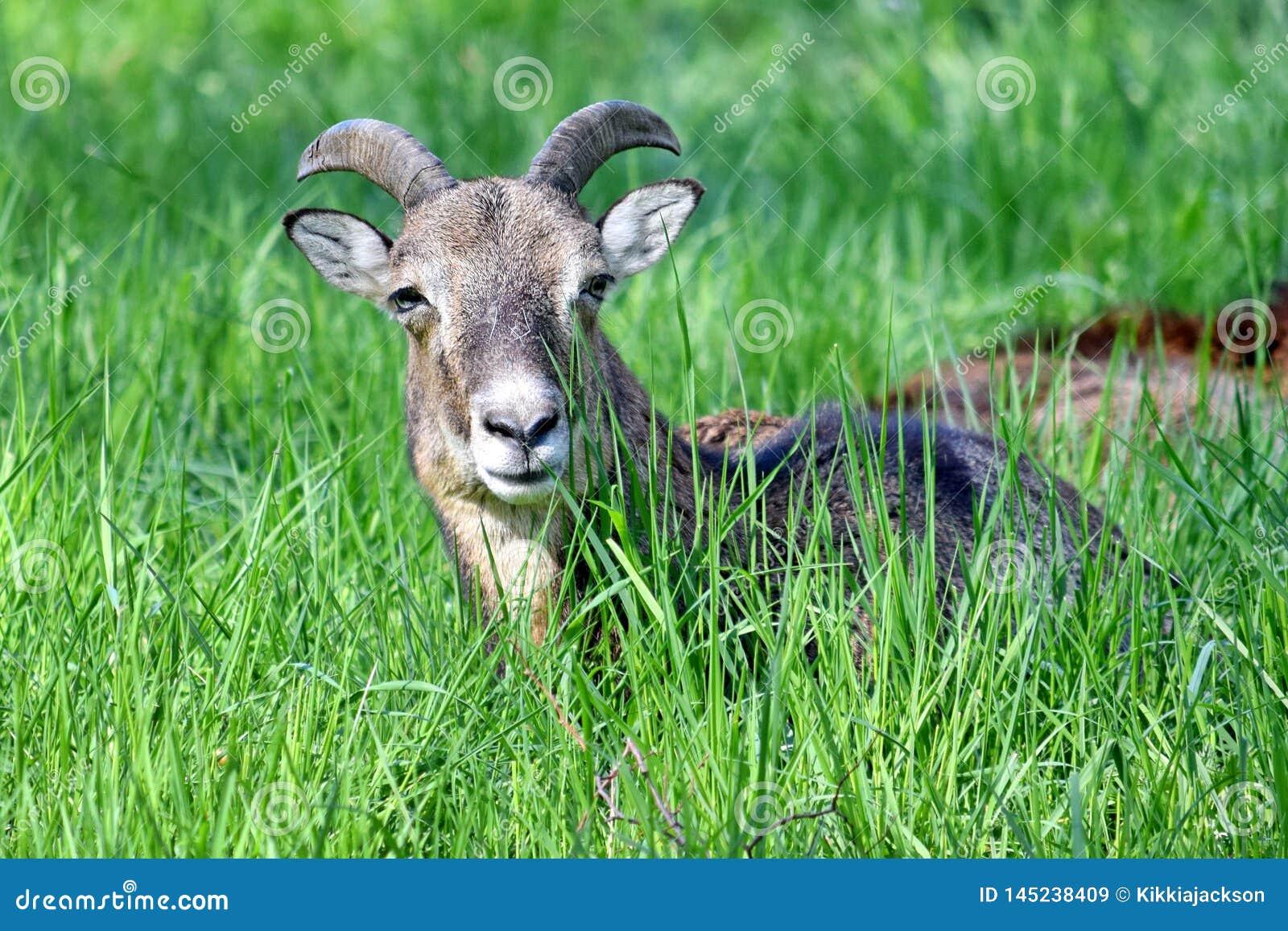Mouflon Ovis Aries Musimon Lying i gräsCloseup