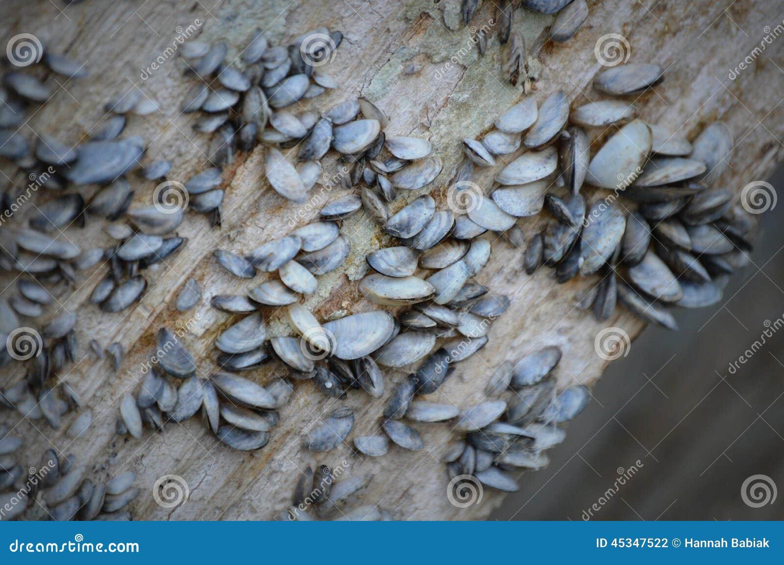 Moules de zèbre sur le fond d un pilier