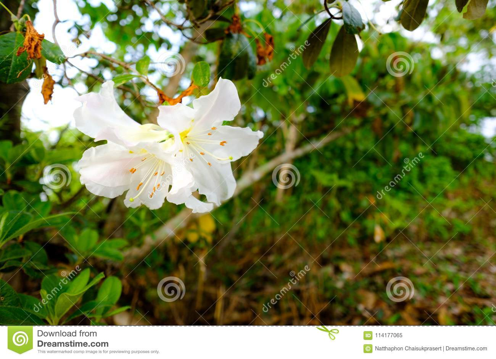 Moulmainense del rododendro mil rosas de los años