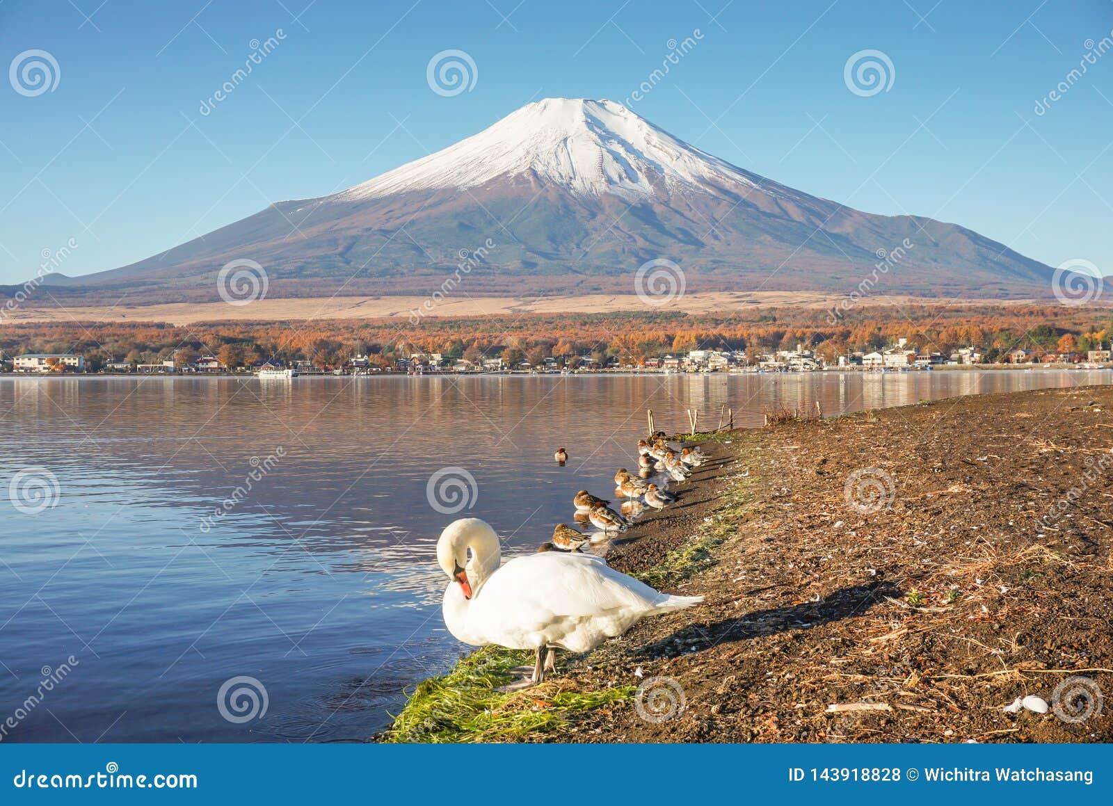 Mount Fuji med svanar på sjön Yamanaka