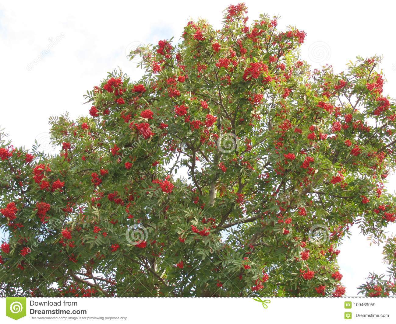 Mountain ash with bunches of berries on branches.
