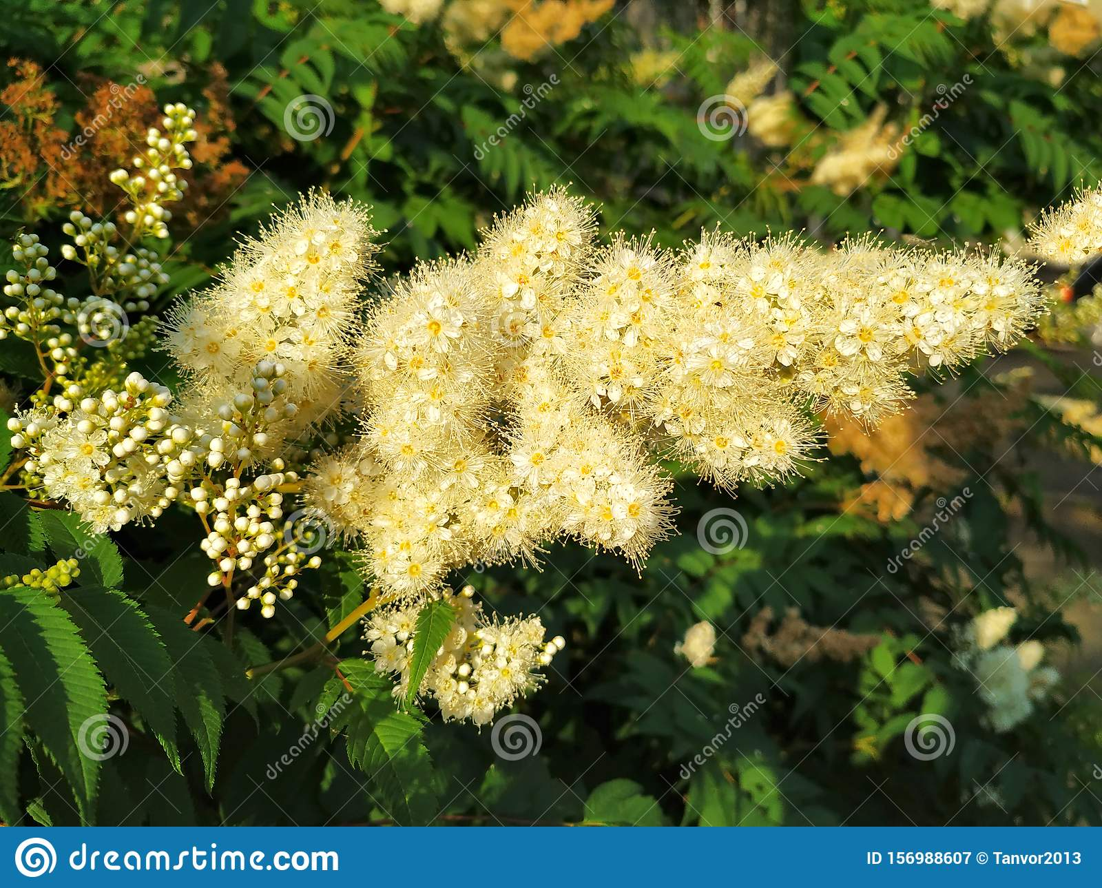 Mountain ash, tree flower. Hairy and bushy, lots of buds, a delicate cream color. On the background of green leaves.