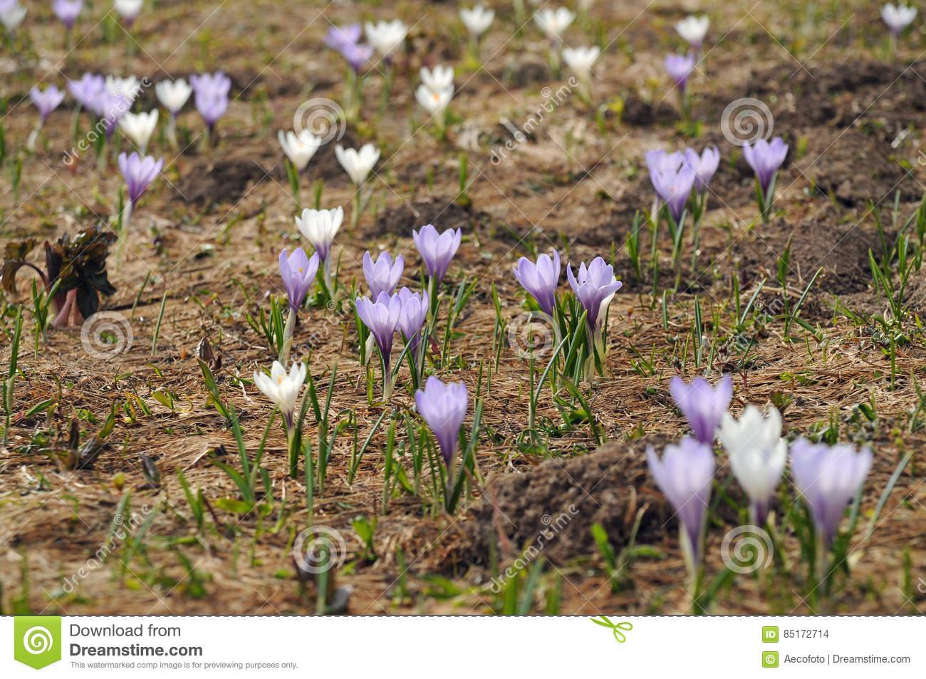 Mountain Crocus Flowers In The Austrian Alps Stock Photo Image Of