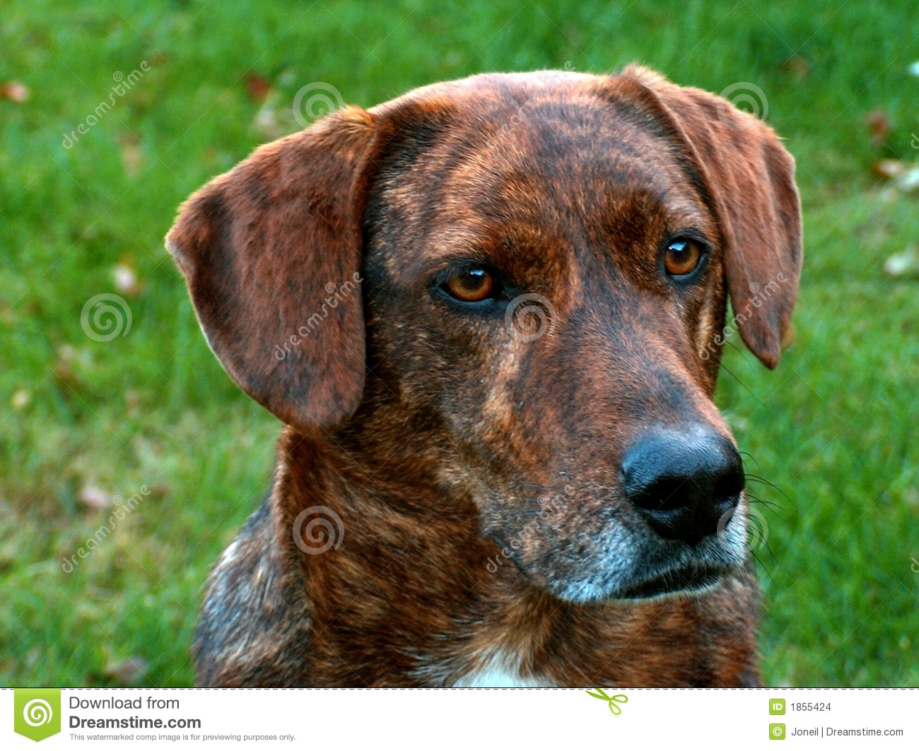 Mountain Cur Hound Stock Images - Image: 1855424