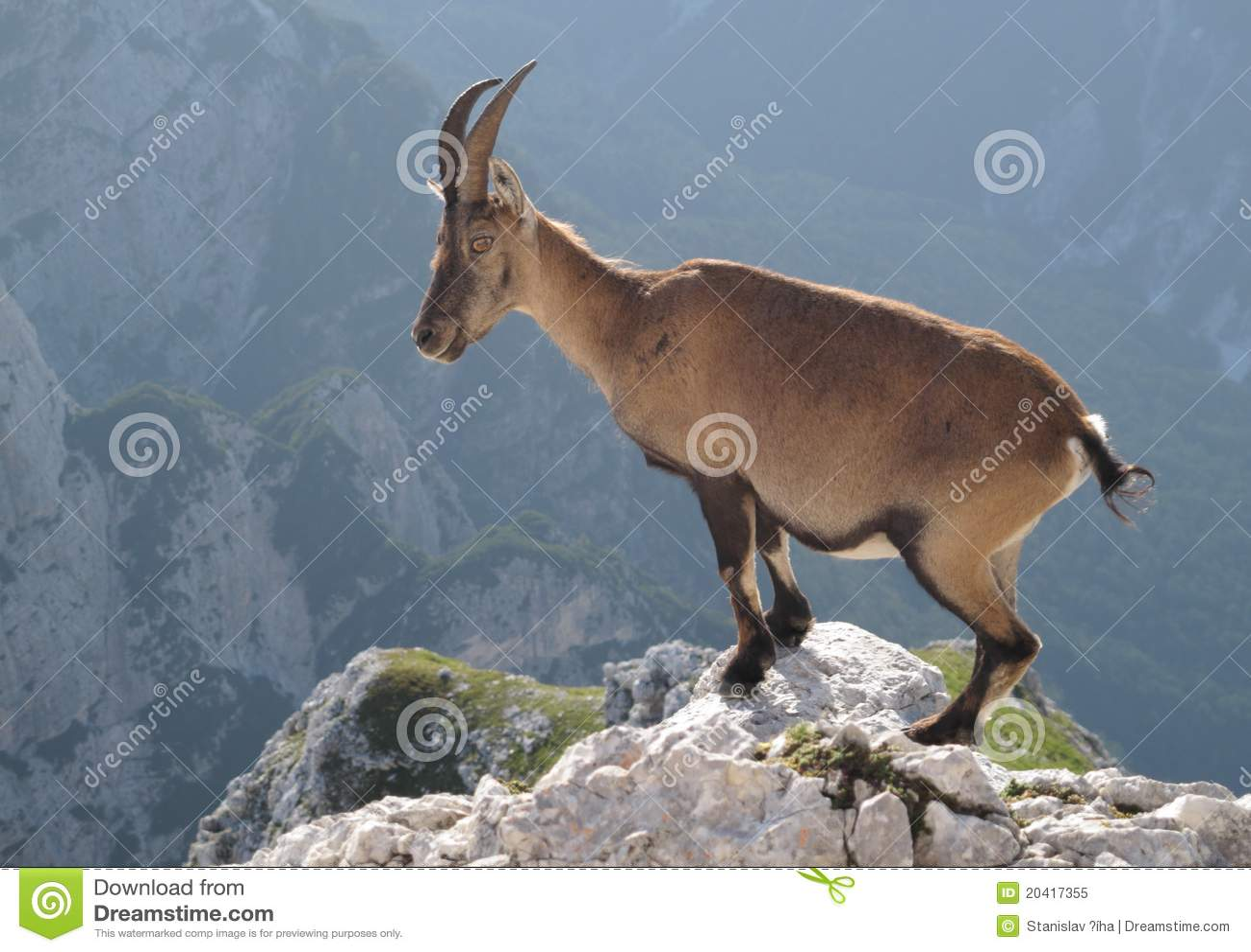 Ibex Goat Mountain goat - Alpine Ibex