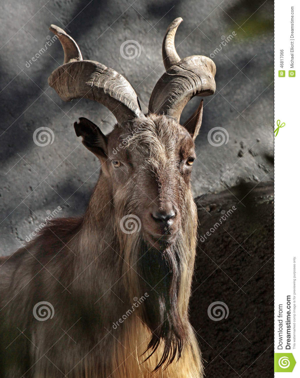 Asian mt goat