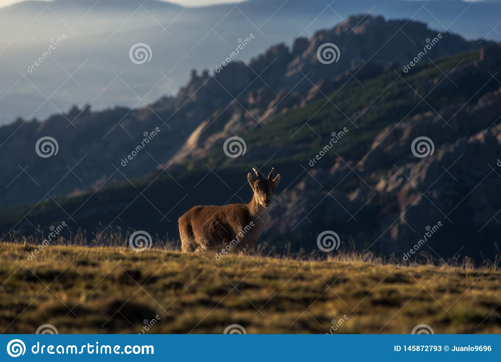 Mountain Goat at dawn. Wild mountain goats at dawn on the National Park of Guadarrama,Spain stock photos