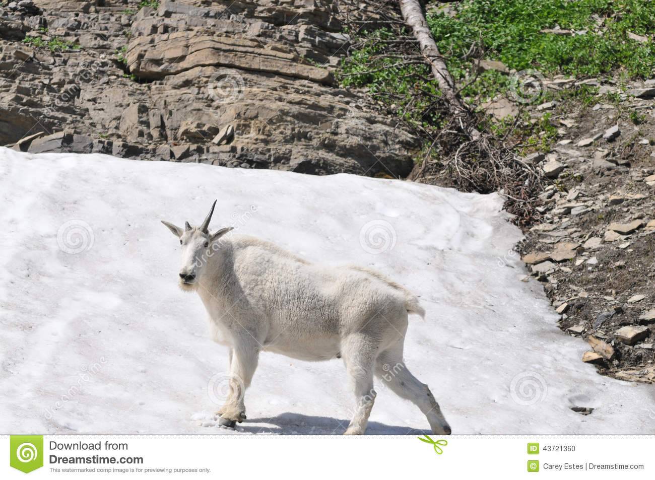 Single horned goat
