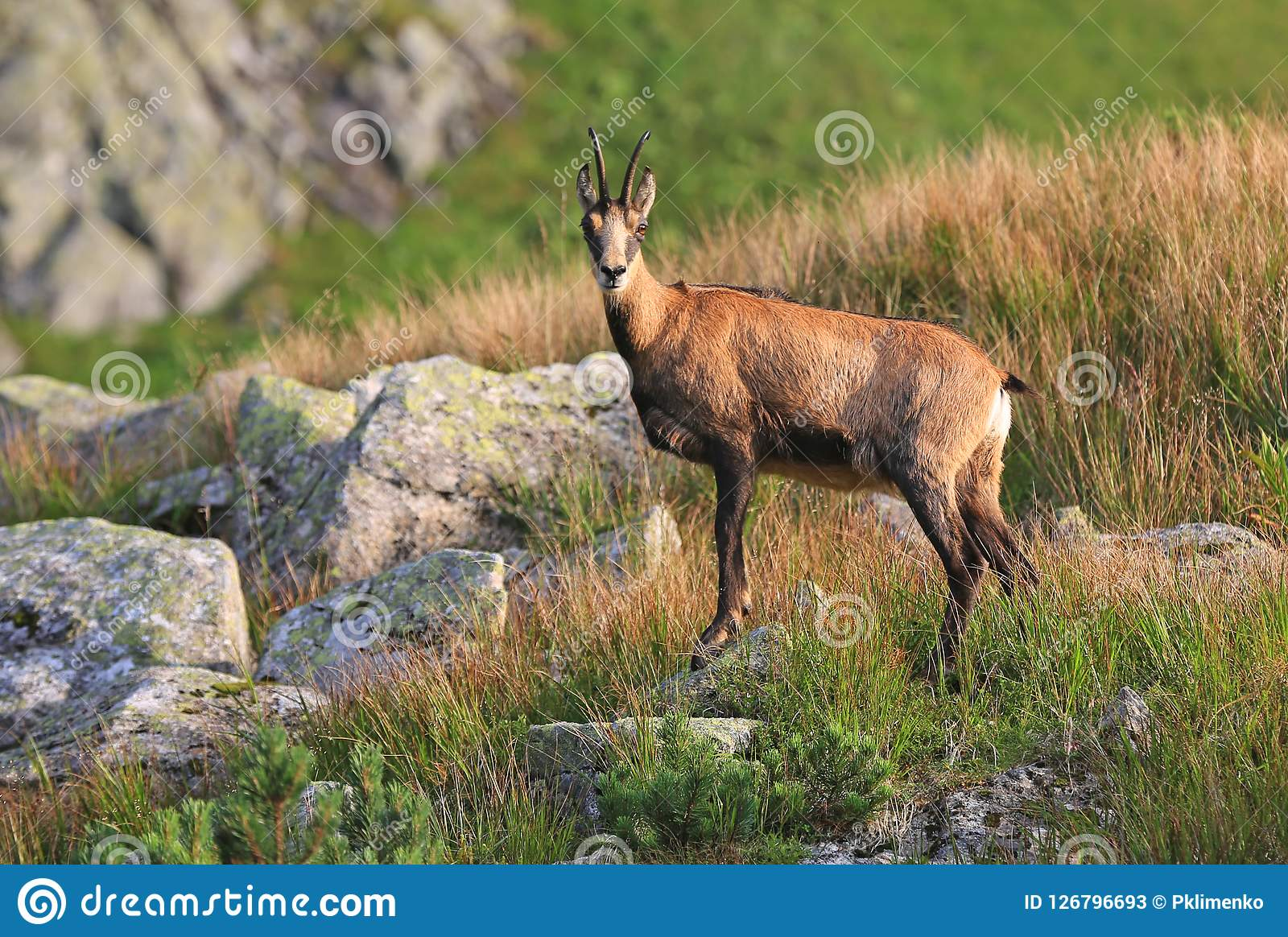 Mountain goat in Tatras. Mountain goat on pasture in Tatra mountains Stock Photos