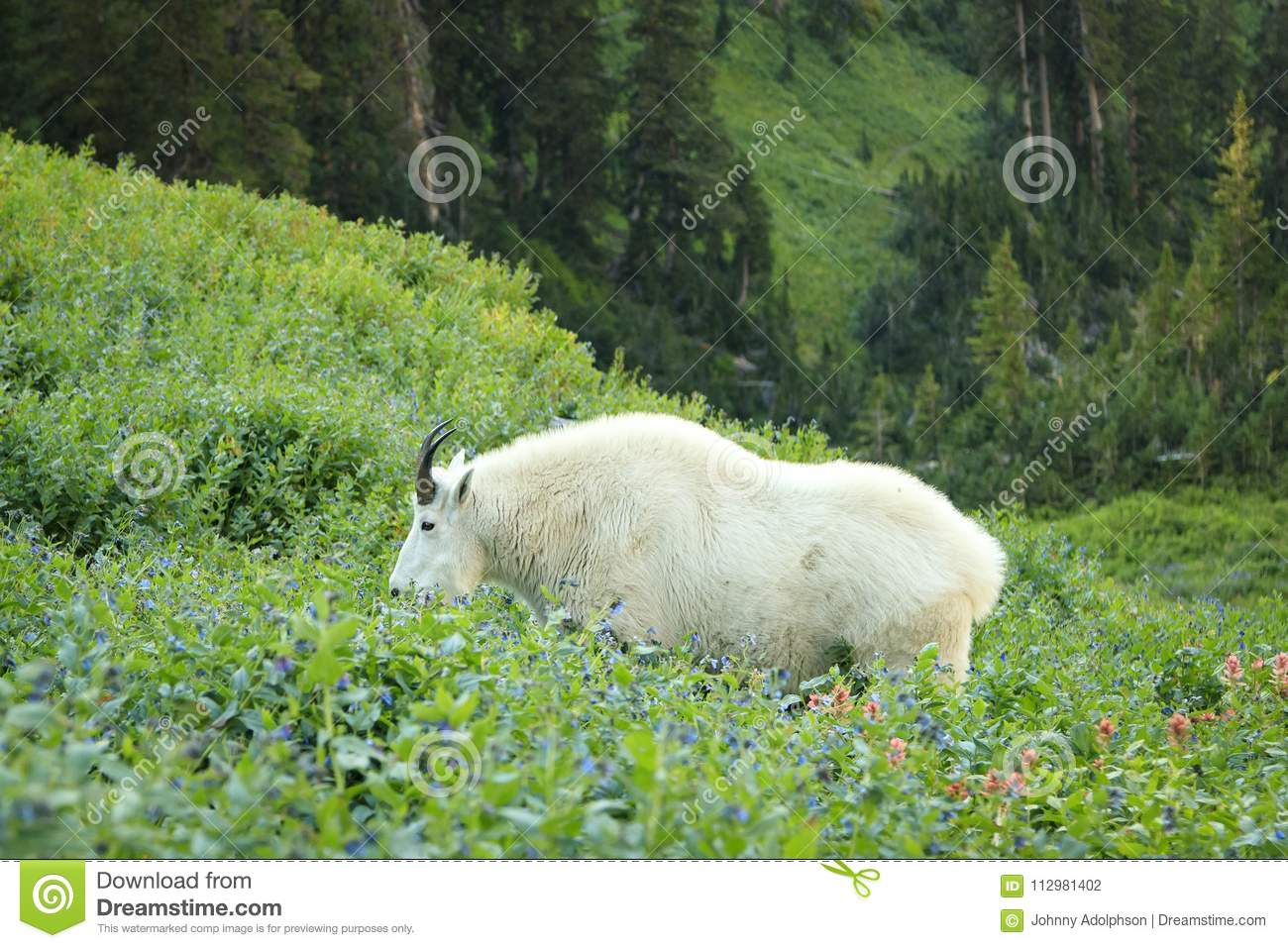 Mountain goat with wildflowers in the Wasatch.