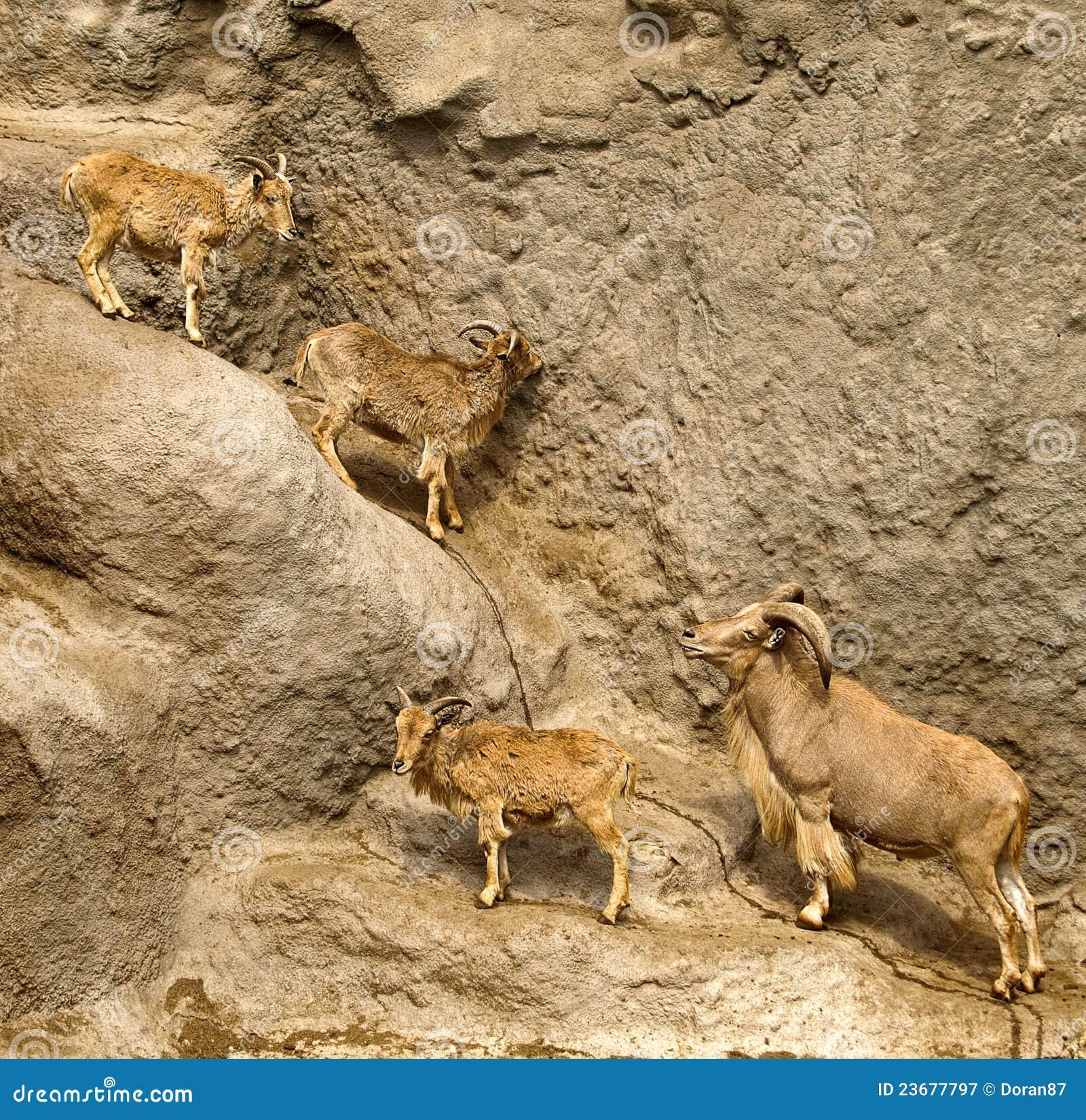 Mountain Goat Climbing Cliff