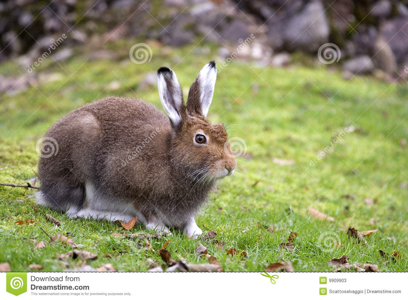 A closeup view of a Mountain Hare. Species: Lepus timidus