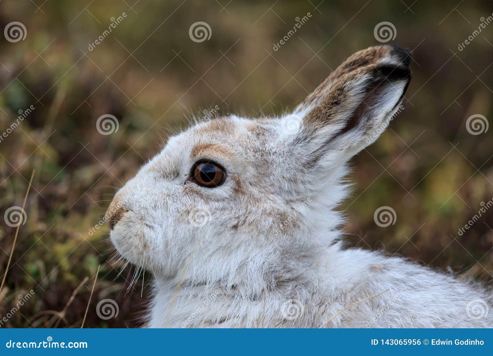 A Mountain hare outside its burrow up close