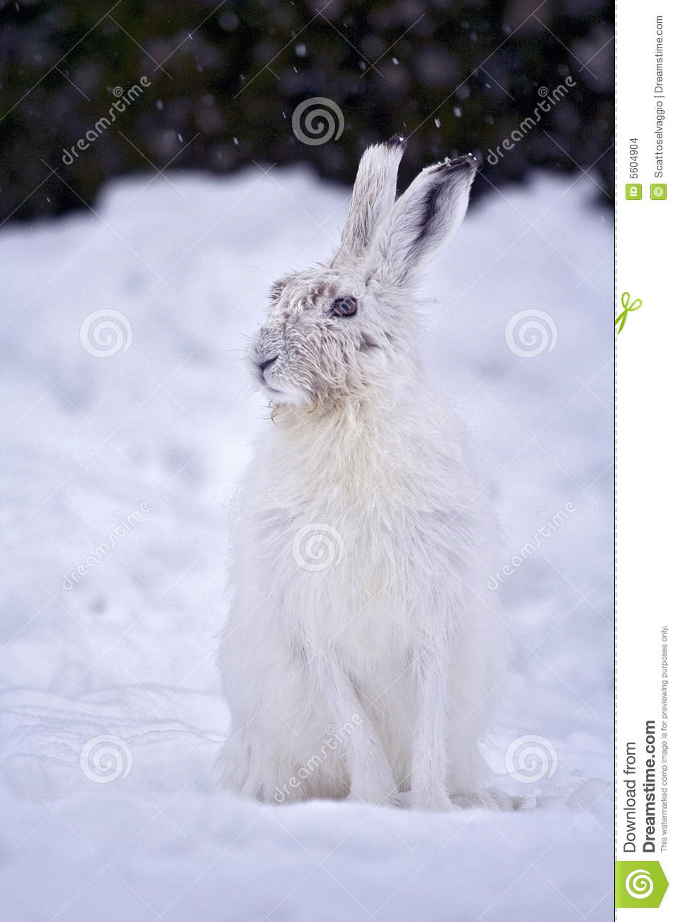 Mountain Hare (Lepus timidus) similar to Blue Hare, Tundra Hare , Variable Hare, White Hare, Alpine Hare and Irish Hare