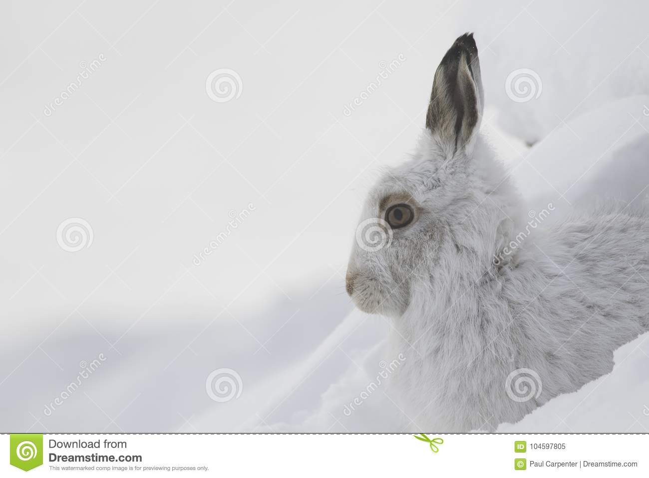 Mountain hare, Lepus timidus, close up portrait while sitting, laying on snow during winter in winter/summer coat during autumn/wi