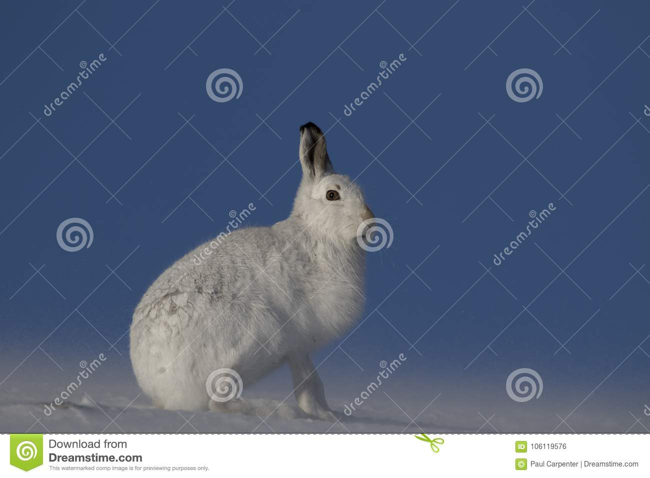 Mountain hare, Lepus timidus, sitting, running on a sunny day in the snow during winter in the cairngorm national park, scotland