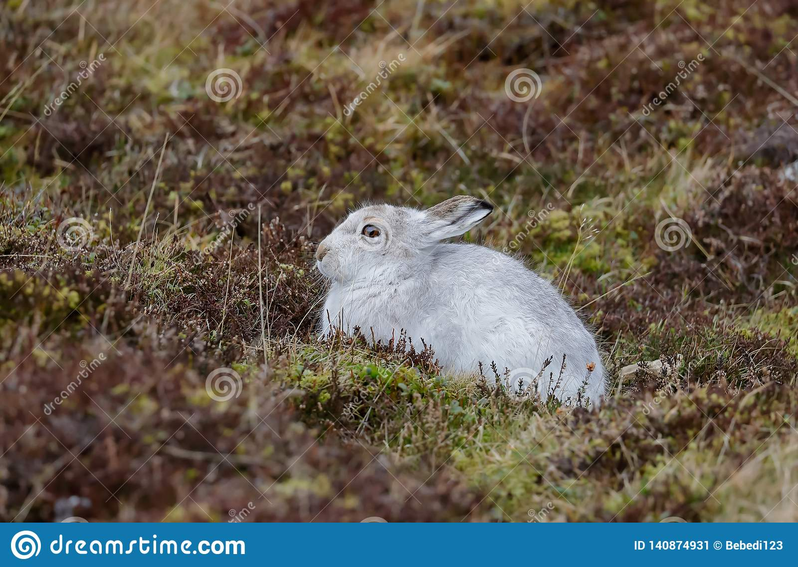 A Mountain hare outside its burrow