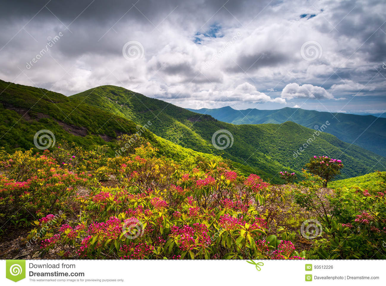 Mountain Laurel Spring Flowers Blooming In Appalachian Mountains