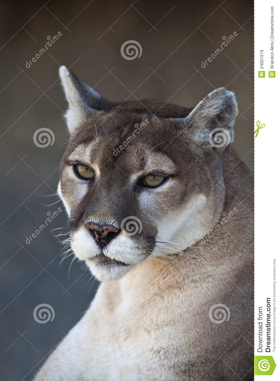 Mountain Lion close up