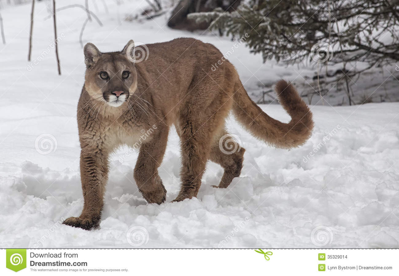 Cougar, Puma, Panther, Mountain Lion in the snow.