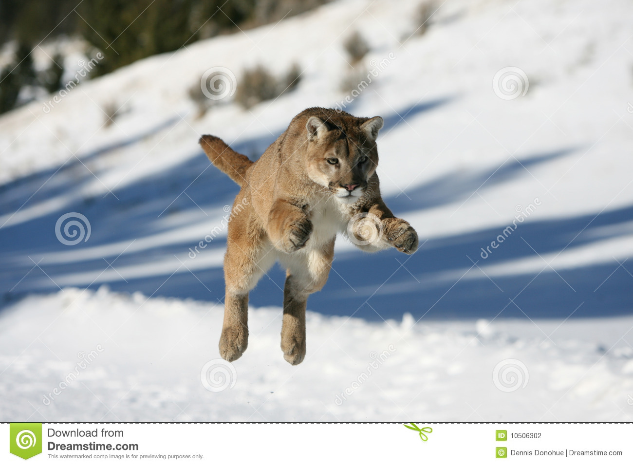 Mountain Lion Jumping Stock Photography - Image: 10506302
