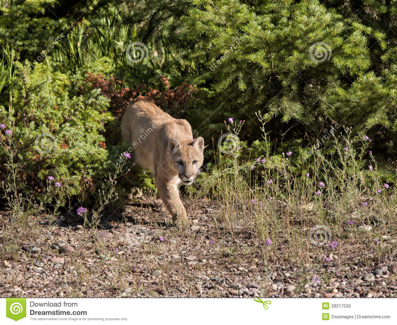 Mountain Lion on the Prowl stock photo. Image of canine ...