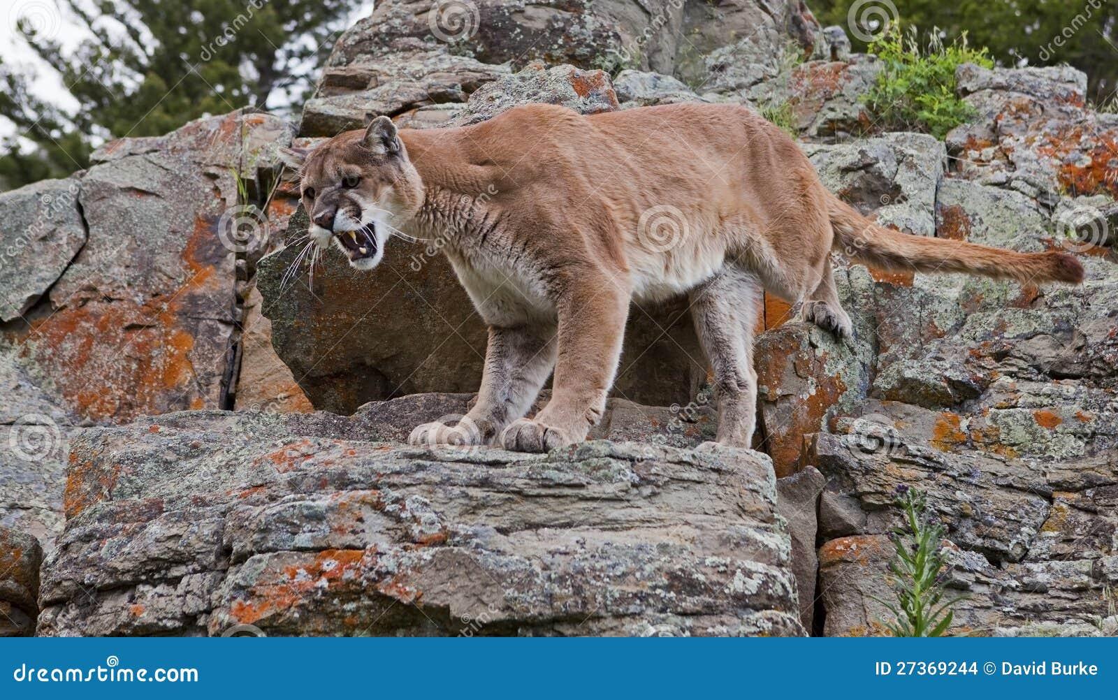 Mountain Lion Puma Concolor Stock Images - Image: 27369244