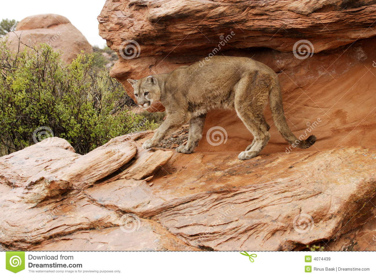 Mountain Lion in Rain stock image. Image of cougar, green ...