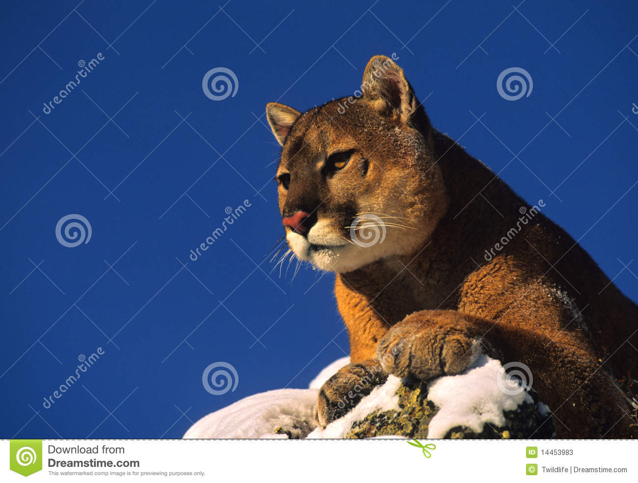 Mountain Lion on Rock stock image. Image of nature ...