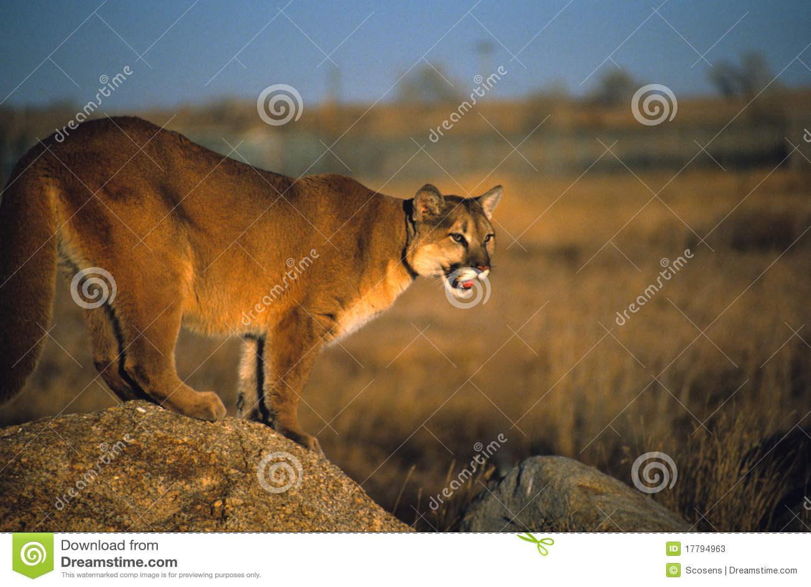 Mountain lion on rock stock image. Image of mountain ...