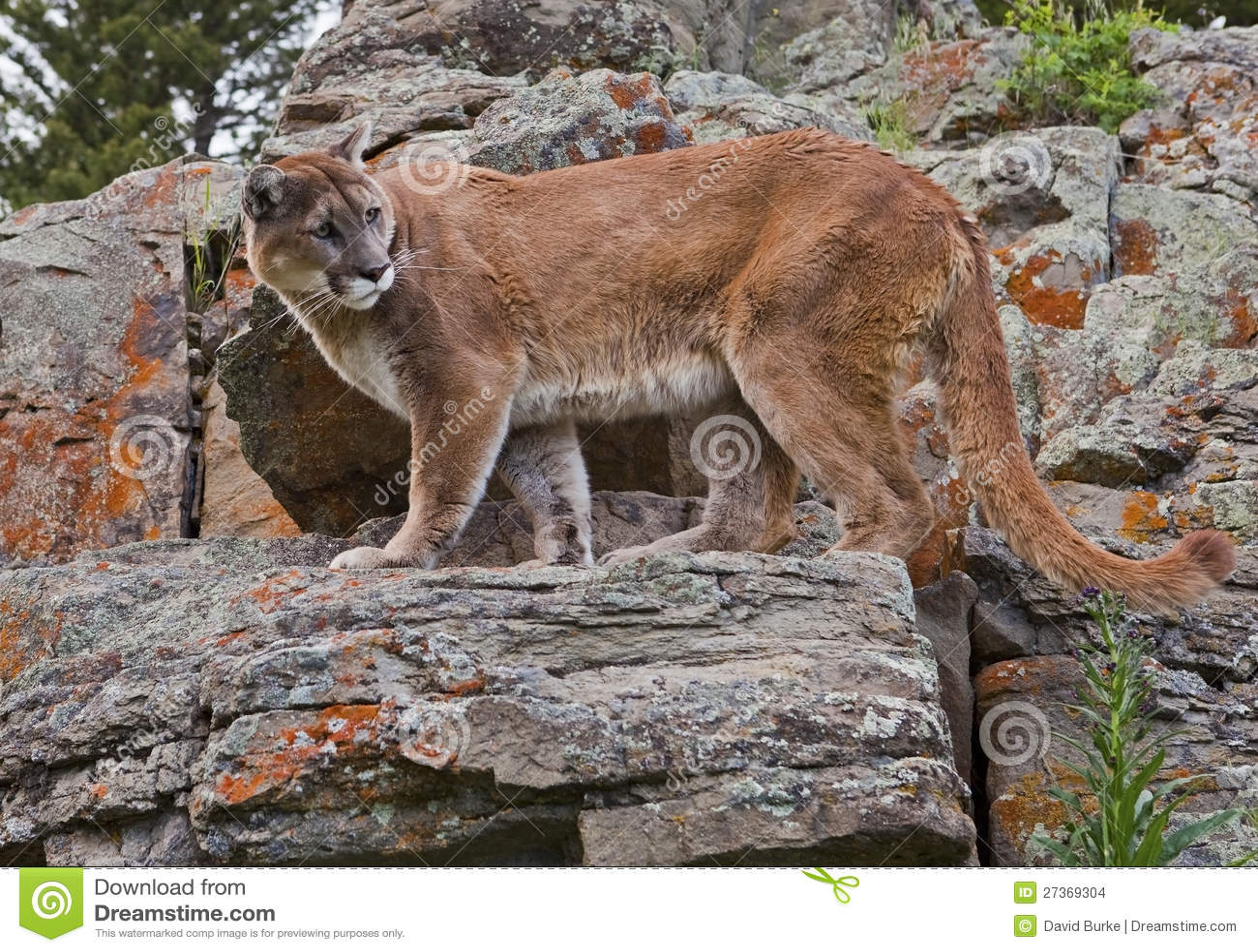 Mountain Lion on rocks stock photo. Image of stone ...