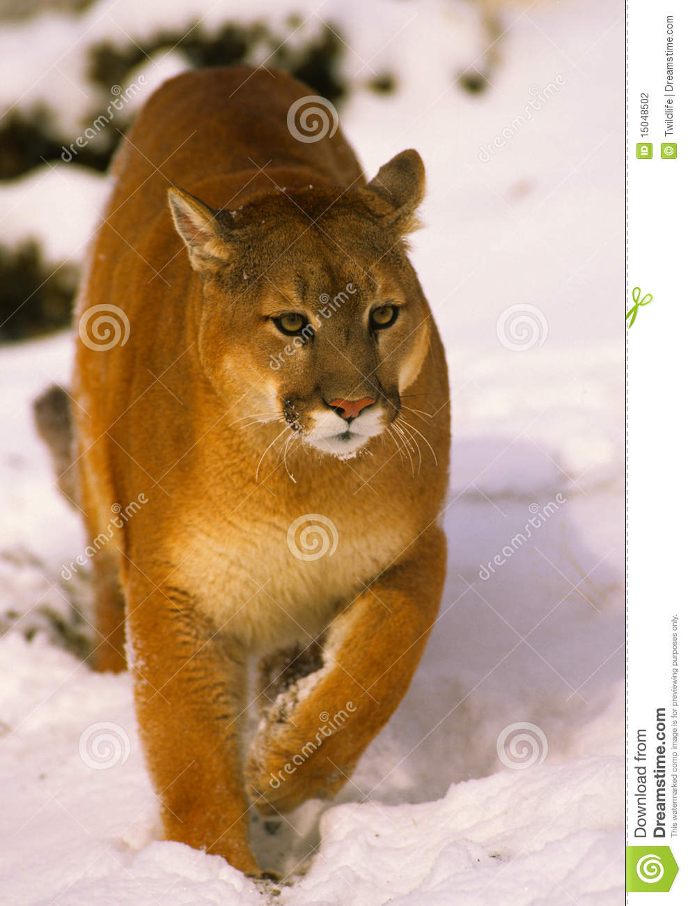 Mountain Lion in snow ...