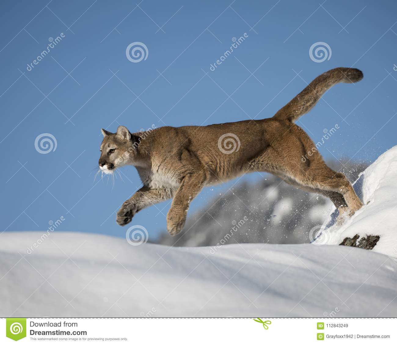 Mountain Lion in the Snow stock image. Image of feline ...