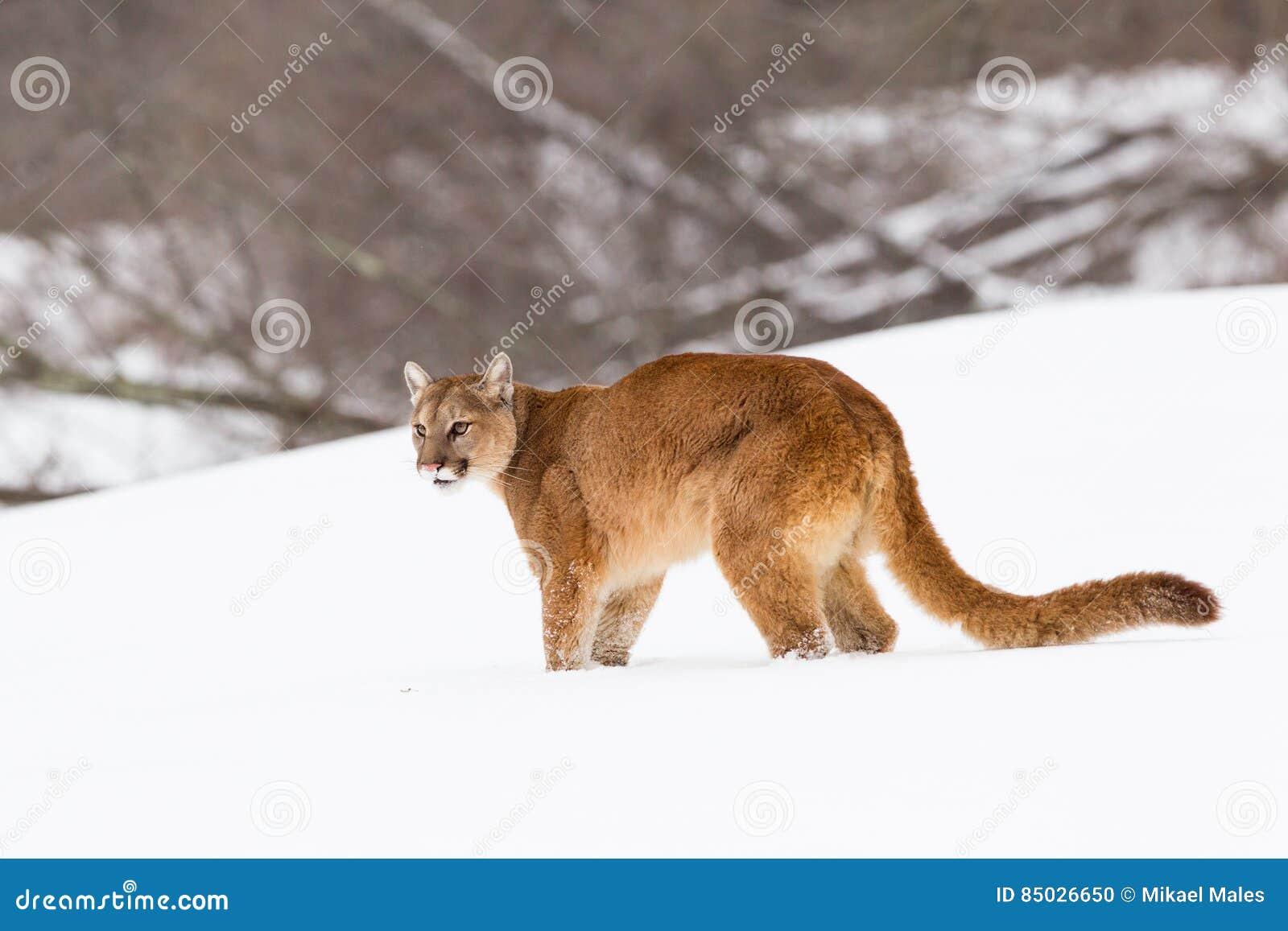 Mountain Lion On Snowy Ridge Stock Photo - Image of ...