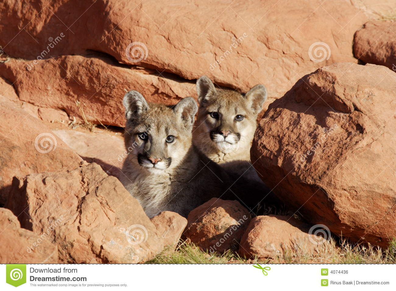 Mountain Lion Twins stock photo. Image of rock, cougar ...