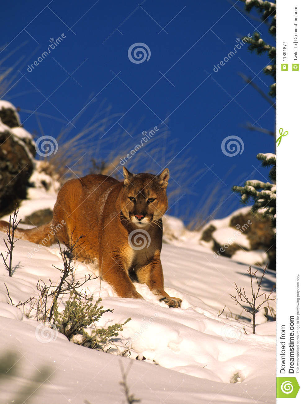 Mountain Lion in Winter stock image. Image of winter ...