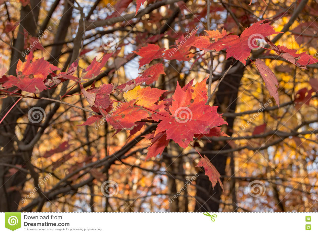 Mountain Maple Acer Spicatum Stock Photo Image Of Coloured